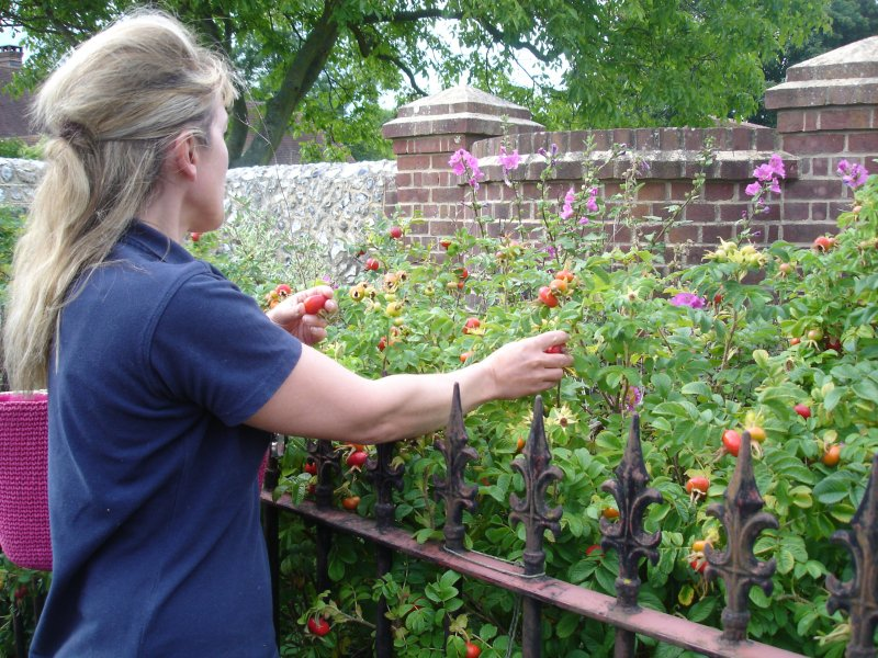 Liz picking a few ripe rosehips