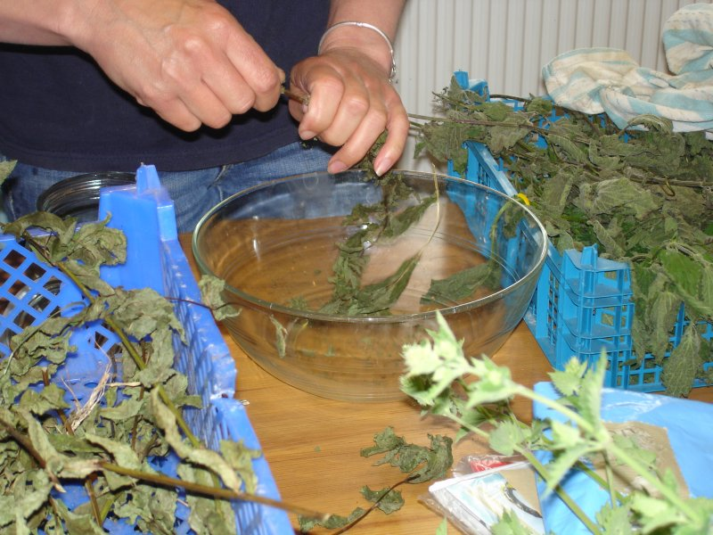 Preparing the dried mint