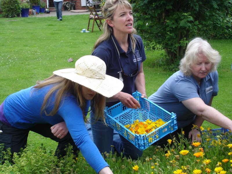 Students harvesting marigold flower heads